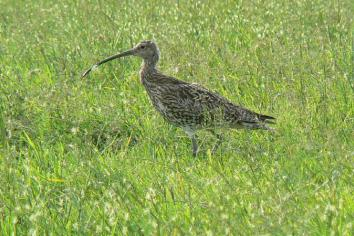 Antrim Hills 'last refuge' for Curlew as NI wildlife losses are highlighted